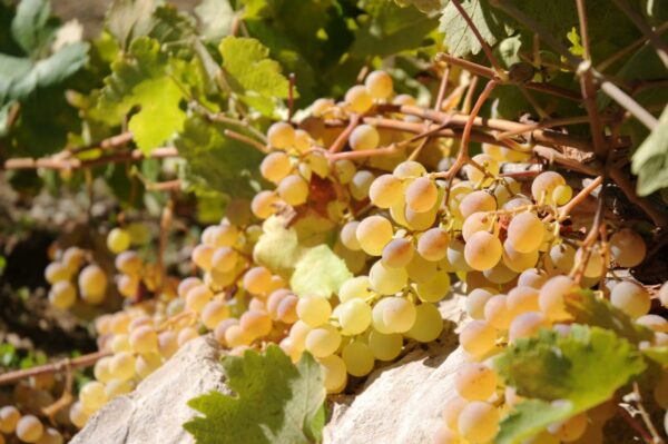 Chateau Musar grapes on the vine